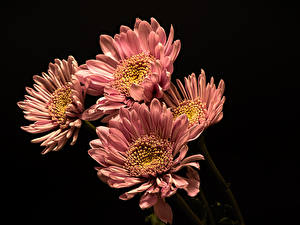 Images Chrysanthemums Closeup Black background Pink color Flowers
