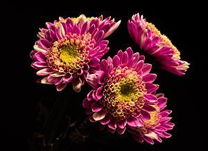 Hintergrundbilder Chrysanthemen Nahaufnahme Schwarzer Hintergrund Violett Blüte