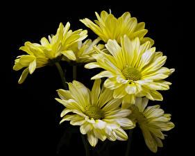 Fotos Chrysanthemen Nahaufnahme Schwarzer Hintergrund Gelb Blüte