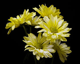 Photo Chrysanthemums Closeup Black background Yellow flower
