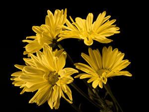 Fotos Chrysanthemen Hautnah Schwarzer Hintergrund Gelb Blüte
