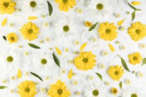 Fotos & Bilder Chrysanthemen Grauer Hintergrund Blütenblätter Blumen