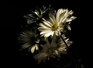 Fotos Großansicht Chrysanthemen Schwarzer Hintergrund Weiß Blüte