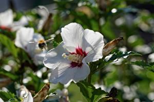 Hintergrundbilder Hautnah Eibisch Bienen Insekten Unscharfer Hintergrund Weiß Blüte
