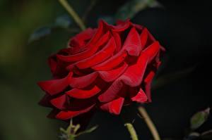 Fotos Großansicht Rosen Rot Blüte