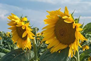 Bilder Hautnah Sonnenblumen Blumen