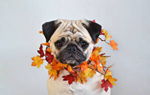 Wallpapers Dog Autumn Gray background Pug Foliage Maple Snout Animals