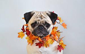 Bilder Hund Herbst Grauer Hintergrund Mops (Hunderasse) Blattwerk Ahorne Schnauze Tiere