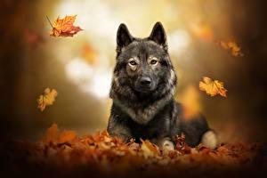 Hintergrundbilder Hund Herbst Shepherd Blattwerk Bokeh