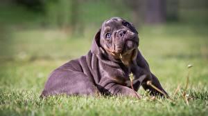 Hintergrundbilder Hunde Bokeh Gras Welpen Hinlegen Bulldogge Süße ein Tier