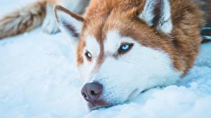 Fotos Hunde Siberian Husky Schnauze ein Tier