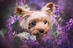 Bilder Hund Yorkshire Terrier Blick Schnauze Süße ein Tier