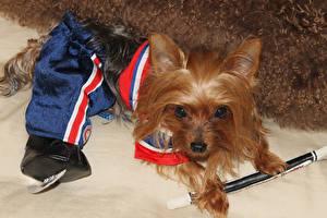 Hintergrundbilder Hunde Yorkshire Terrier Uniform