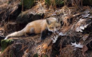 Wallpaper Foxes Cubs