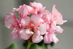 Fotos Storchschnäbel Nahaufnahme Rosa Farbe Blumen