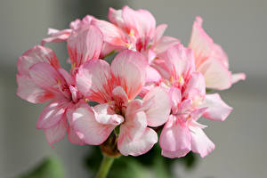 Wallpapers Geranium Closeup Pink color Flowers