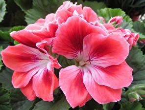 Hintergrundbilder Geranien Hautnah Rosa Farbe Blumen