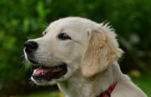 Bilder Golden Retriever Hautnah Hund Kopf Weiß Tiere