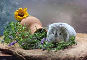 Bilder Hausmeerschweinchen Sonnenblumen Krüge Tiere