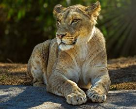 Images Lioness Lions Paws Lying down Animals