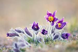 Fotos & Bilder Kuhschellen Großansicht Blumen