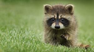 Hintergrundbilder Waschbären Gras Bokeh Schnauze Blick Süßes Pfote ein Tier