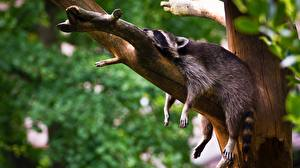 Image Raccoons Esting Branches Sleeping Relax Paws Animals