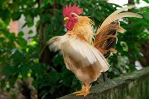 Bilder Hahn Vögel Federn Tiere