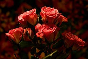 Hintergrundbilder Rosen Unscharfer Hintergrund Rosa Farbe Blumen