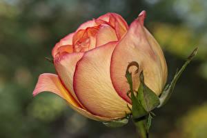 Fotos Rosen Nahaufnahme Blumen