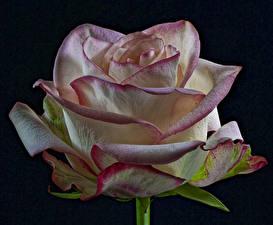 Hintergrundbilder Rosen Nahaufnahme Schwarzer Hintergrund Blumen