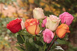 Bilder Rosen Nahaufnahme Mehrfarbige Blüte