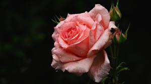 Fotos Rose Rosa Farbe Tropfen Blumen
