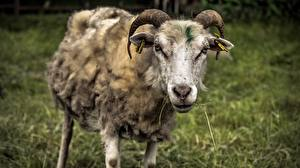 Pictures Sheep Horns Snout Animals