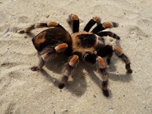 Bilder Webspinnen Hautnah Insekten Sand Pfote Red-Kneed Tarantula