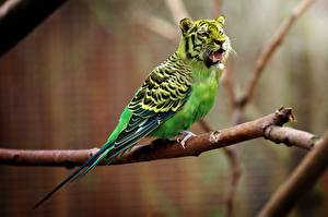 Wallpapers Tigers Birds Creative Parrots Branches