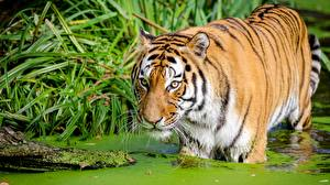 Wallpapers Tigers Swamp animal