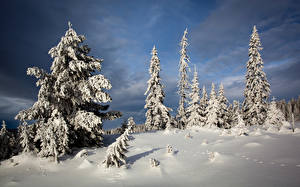 Picture Winter Spruce Snow Nature