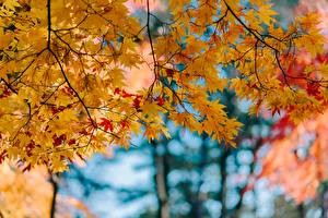 Pictures Autumn Foliage Maple Branches Nature