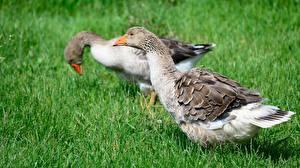 Bilder Vogel Gänse Gras 2 ein Tier
