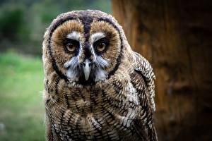Pictures Birds Owl Glance