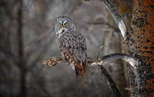 Hintergrundbilder Vogel Eule Ast Great grey owl strix