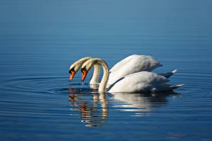 Fotos Vögel Schwan Wasser Zwei ein Tier