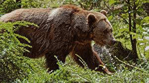 Pictures Bears Brown Bears