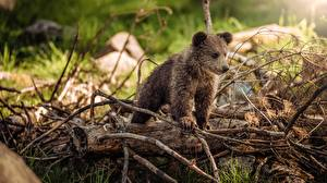 Picture Bear Grizzly Cubs Branches animal