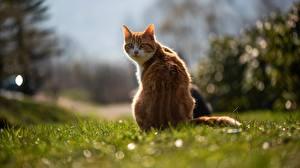 Bilder Hauskatze Hinten Gras Unscharfer Hintergrund Orange rot ein Tier