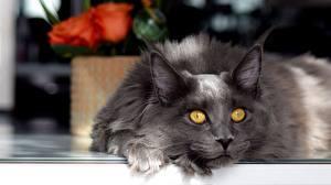 Fotos Hauskatze Mancoon Grau Blick ein Tier