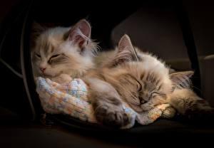 Fotos Hauskatze Ragdoll-Katze Katzenjunges Schlaf Zwei