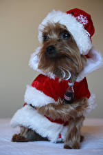 Image New year Dog Coca-Cola Uniform Yorkshire terrier Santa Claus Winter hat Animals