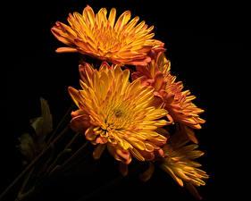 Fotos Chrysanthemen Hautnah Schwarzer Hintergrund Orange Blüte